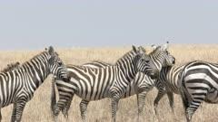 midday close up of a zebra herd in masai mara game reserve, kenya