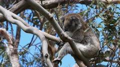 a koala sits in an unusual position in a eucalyptus tree near the great ocean road, victoria