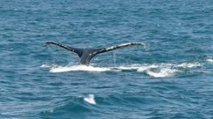 a humpback whale and calf dive at merimbula in new south wales, australia-originally recorded at 60p