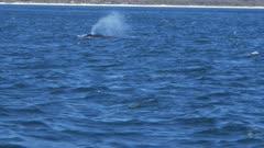 tracking shot of humpback and calf surfacing at merimbula on the new south wales south coast