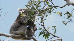 mother and baby koala feeding together at cape otway on the great ocean road, victoria