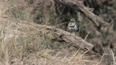 tracking shot of an usambiro barbet in masai mara game reserve, kenya
