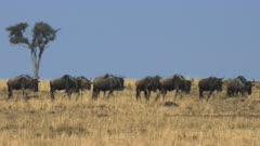 wildebeest migrating across the savannah with heat waves in masai mara game reserve, kenya