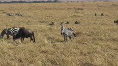 zebra and wildebeest together on the savannah in masai mara game reserve, kenya