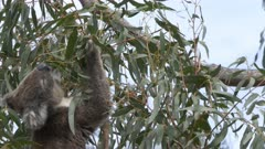 an adult koala feeding on gum leaves at cape otway on the great ocean road, victoria