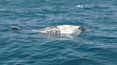 a 60p clip of a dead humpback whale calf floating in the ocean at merimbula- originally recorded at 120fps