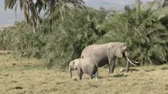 an adult elephant and calf feed on grass in amboseli national park, kenya