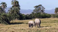 front view of an elephant calf feeding on grass with its mother at amboseli national park, kenya