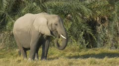 close up of a young elephant feeding in front of palm leaves at amboseli national park, kenya