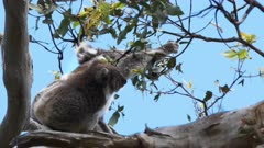 mother koala with a baby on her back feed together at cape otway on the great ocean road, victoria