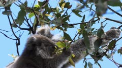 close up of a mother and baby koala eating eucalyptus leaves at cape otway on the great ocean road, victoria