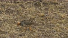 harlequin quail pair in masai mara game reserve, kenya