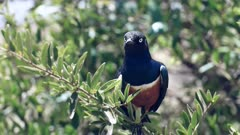 close up of superb starling perched on a tree branch at amboseli national park, kenya