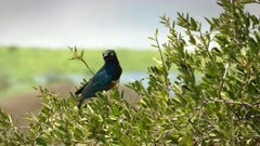 superb starling in a tree at observation hill in amboseli, kenya