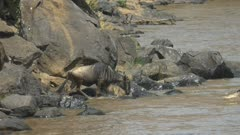 60p clip of wildebeest entering the mara river in masai mara game reserve, kenya- originally recorded at 120fps