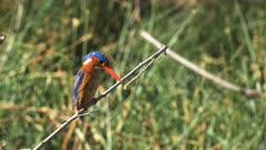 malachite kingfisher on a tree branch at amboseli national park, kenya