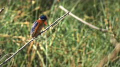 zoom in shot of a malachite kingfisher perched on a plant stem in amboseli national park, kenya