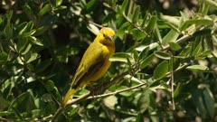 taveta weaver bird perched in a bush at observation hill in amboseli national park, kenya