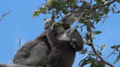 low angle view of a mother and baby koala feeding together at cape otway on the great ocean road, victoria