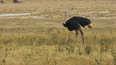 a feeding ostrich walking to the left at amboseli national park, kenya