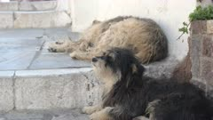 two street dogs in the popular tourist village of oia on the island of santorini, greece