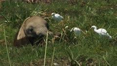 close up of an elephant calf feeding in a marsh at amboseli national park, kenya