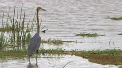 a goliath heron stands at the edge of a marsh in amboseli national park, kenya