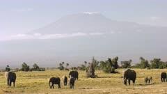 elephants feeding in front of mt kilimanjaro in amboseli national park, kenya
