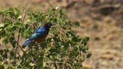 superb starling on a berry bush at amboseli national park, kenya