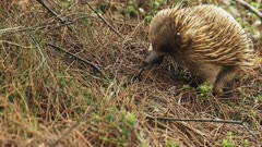 echidna foraging for food near the trail to cape pillar on the three capes track in tasmania