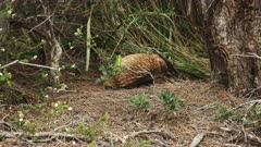 echidna foraging leaves the shot to the right at cape pillar on the three capes track in tasmania