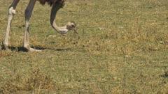 close up of a female ostrich feeding at amboseli national park, kenya