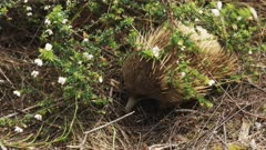 high angle shot of an echidna looking for food at cape pillar on the three capes track in tasmania