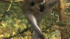 ververt monkey feeding in a tree at amboseli national park, kenya