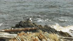 pacific gulls on the rocky shore at arthur river mouth in tasmania, australia