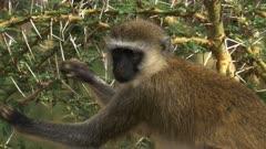 close up of a female ververt monkey picking leaves to eat at amboseli national park, kenya