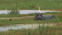 a hippopotamus feeds on vegetation in a swamp at amboseli national park, kenya