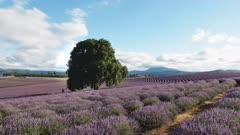 zoom in shot of a field of lavender flowers and an old oak tree in tasmania, australia