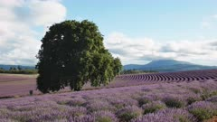 afternoon view of an old oak tree and rows of flowering lavender at a farm in tasmania, australia