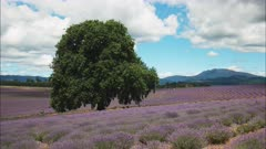 a field of lavender flowers and an old oak tree in tasmania on a summer's day
