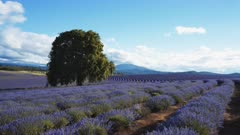 lavender plants in bloom and an old oak tree in tasmania, australia