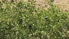 long shot of a superb starling flock feeding on berries at amboseli national park, kenya