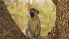 a ververt monkey sits in the fork of a tree trunk at amboseli national park, kenya