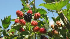 close up of thornless blackberry fruit on a vine at westerway in tasmania, australia