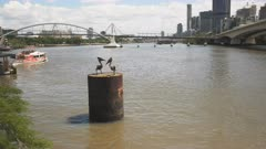 morning shot of a river ferry and steel pelicans at south bank in brisbane, queensland