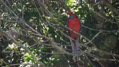 crimson rosella on a tree branch at o'reillys in lamington national park in queensland, australia