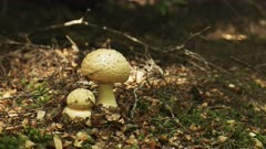 zoom in shot on two fungi growing on the ground in the tarkine rain forest of tasmania, australia