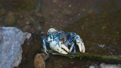 close up of a lamington spiny crayfish feeding in lamington national park in queensland, australia