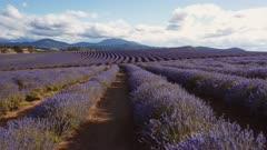 late afternoon gimbal shot walking along rows of flowering lavender in tasmania, australia