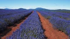 morning shot using a gimbal of flowering lavender rows at bridestowe in tasmania, australia